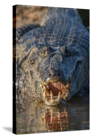 South America, Brazil, Cuiaba River, Pantanal Wetlands, Yacare Caiman with Open Mouth-Judith Zimmerman-Stretched Canvas Print