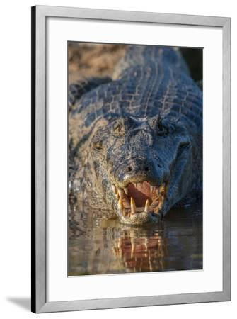 South America, Brazil, Cuiaba River, Pantanal Wetlands, Yacare Caiman with Open Mouth-Judith Zimmerman-Framed Photographic Print