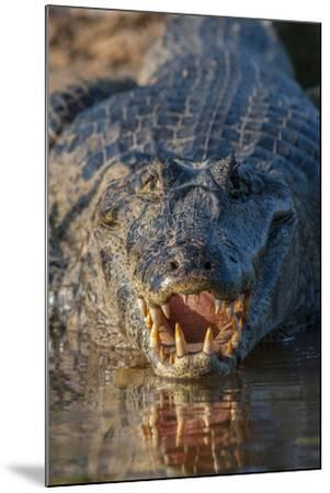 South America, Brazil, Cuiaba River, Pantanal Wetlands, Yacare Caiman with Open Mouth-Judith Zimmerman-Mounted Photographic Print