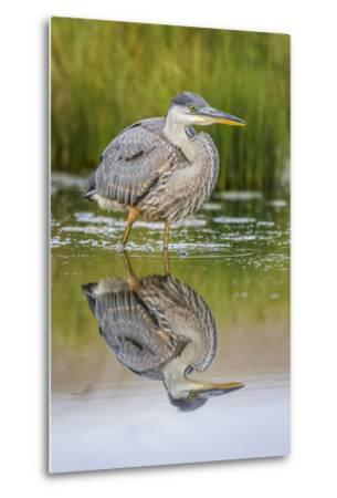 Wyoming, a Juvenile Great Blue Heron Forages for Food in a Calm Pond with Full Reflection-Elizabeth Boehm-Metal Print