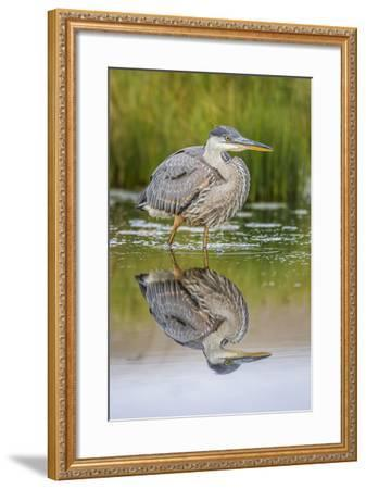 Wyoming, a Juvenile Great Blue Heron Forages for Food in a Calm Pond with Full Reflection-Elizabeth Boehm-Framed Photographic Print