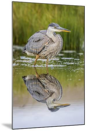Wyoming, a Juvenile Great Blue Heron Forages for Food in a Calm Pond with Full Reflection-Elizabeth Boehm-Mounted Photographic Print