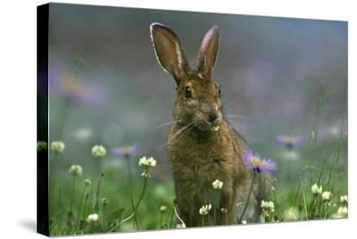 Snowshoe Hare, Ontario, Canada-Tim Fitzharris-Stretched Canvas Print