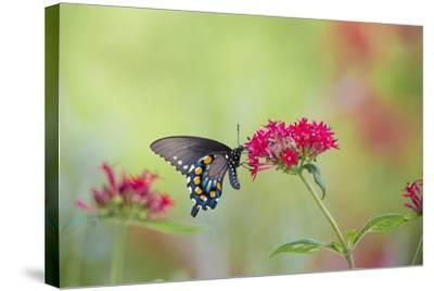 Pipevine Swallowtail Butterfly Male on Red Pentas, Marion County, Il-Richard and Susan Day-Stretched Canvas Print