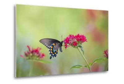 Pipevine Swallowtail Butterfly Male on Red Pentas, Marion County, Il-Richard and Susan Day-Metal Print