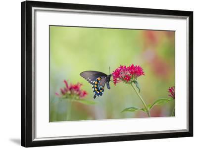Pipevine Swallowtail Butterfly Male on Red Pentas, Marion County, Il-Richard and Susan Day-Framed Photographic Print