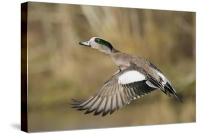 American Widgeon Taking Flight-Ken Archer-Stretched Canvas Print