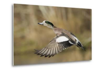 American Widgeon Taking Flight-Ken Archer-Metal Print