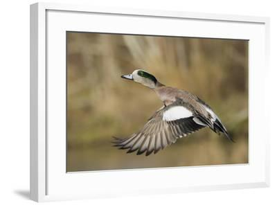American Widgeon Taking Flight-Ken Archer-Framed Photographic Print