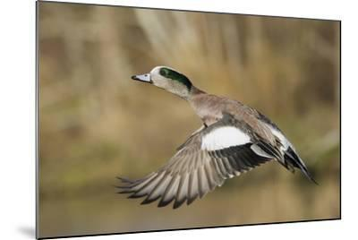American Widgeon Taking Flight-Ken Archer-Mounted Photographic Print