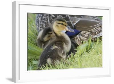 Mallard Duckling-Ken Archer-Framed Photographic Print