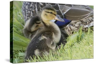 Mallard Duckling-Ken Archer-Stretched Canvas Print