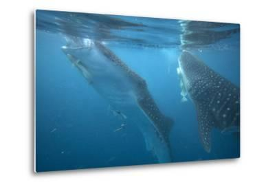 Whale Sharks Feeding at the Surface, Cebu, Philippines-Tim Fitzharris-Metal Print