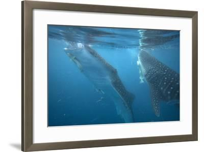 Whale Sharks Feeding at the Surface, Cebu, Philippines-Tim Fitzharris-Framed Photographic Print