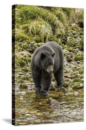 Canada, British Columbia, Inside Passage. Black Bear Fishing on Qua Creek-Jaynes Gallery-Stretched Canvas Print