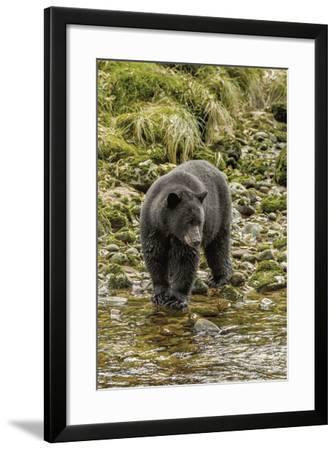 Canada, British Columbia, Inside Passage. Black Bear Fishing on Qua Creek-Jaynes Gallery-Framed Photographic Print