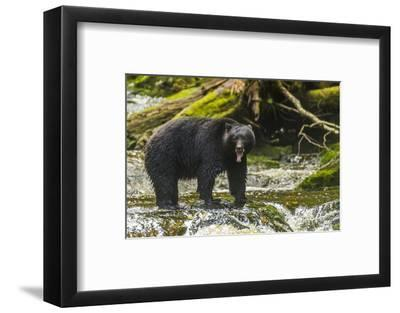 Canada, British Columbia, Inside Passage. Black Bear Fishing on Qua Creek-Jaynes Gallery-Framed Photographic Print