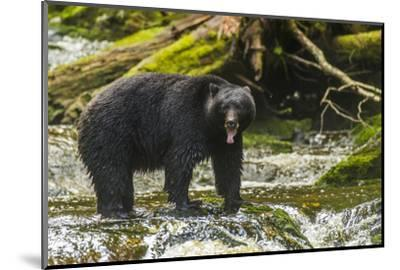Canada, British Columbia, Inside Passage. Black Bear Fishing on Qua Creek-Jaynes Gallery-Mounted Photographic Print