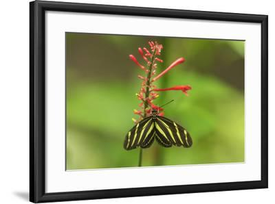 Costa Rica, Arenal. Zebra Butterfly-Jaynes Gallery-Framed Photographic Print