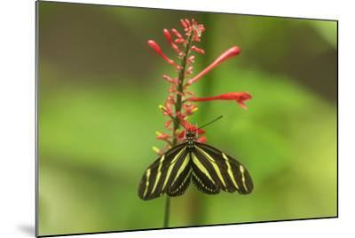 Costa Rica, Arenal. Zebra Butterfly-Jaynes Gallery-Mounted Photographic Print