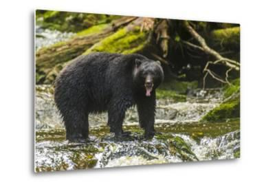 Canada, British Columbia, Inside Passage. Black Bear Fishing on Qua Creek-Jaynes Gallery-Metal Print