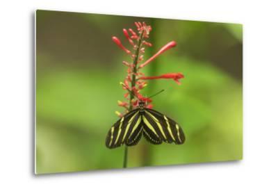 Costa Rica, Arenal. Zebra Butterfly-Jaynes Gallery-Metal Print