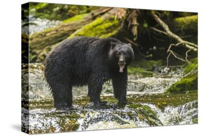 Canada, British Columbia, Inside Passage. Black Bear Fishing on Qua Creek-Jaynes Gallery-Stretched Canvas Print