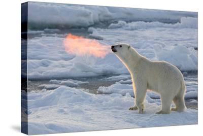 Norway, Svalbard, Spitsbergen. Polar Bear with Backlit Breath-Jaynes Gallery-Stretched Canvas Print