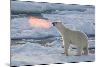 Norway, Svalbard, Spitsbergen. Polar Bear with Backlit Breath-Jaynes Gallery-Mounted Photographic Print