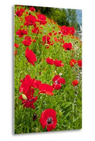 Red Poppies Flowers in Field Snoqualmie, Washington State Papaver Rhoeas Common Poppy Flower-William Perry-Metal Print