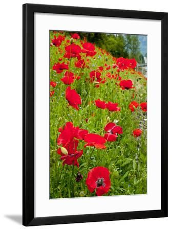 Red Poppies Flowers in Field Snoqualmie, Washington State Papaver Rhoeas Common Poppy Flower-William Perry-Framed Photographic Print