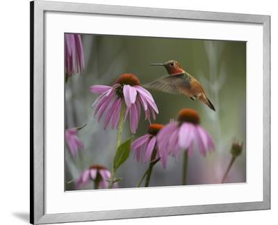 Male Rufous Hummingbird Flies over Purple Coneflowers-Tim Fitzharris-Framed Photographic Print