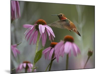 Male Rufous Hummingbird Flies over Purple Coneflowers-Tim Fitzharris-Mounted Photographic Print