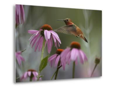 Male Rufous Hummingbird Flies over Purple Coneflowers-Tim Fitzharris-Metal Print
