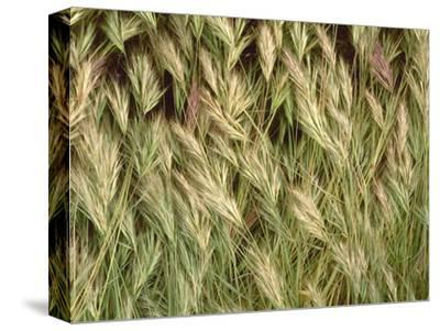 Arizona, Tonto National Forest. Close-Up Details of Wild Grass-John Barger-Stretched Canvas Print