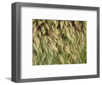 Arizona, Tonto National Forest. Close-Up Details of Wild Grass-John Barger-Framed Photographic Print