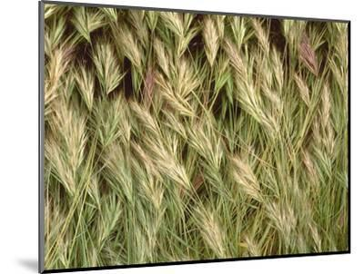 Arizona, Tonto National Forest. Close-Up Details of Wild Grass-John Barger-Mounted Photographic Print