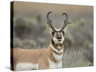 Pronghorn Buck Showing Territorial Behavior, Grand Tetons National Park, Wyoming-Maresa Pryor-Stretched Canvas Print