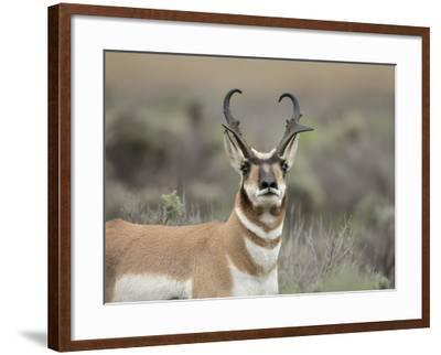Pronghorn Buck Showing Territorial Behavior, Grand Tetons National Park, Wyoming-Maresa Pryor-Framed Photographic Print