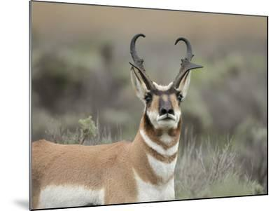 Pronghorn Buck Showing Territorial Behavior, Grand Tetons National Park, Wyoming-Maresa Pryor-Mounted Photographic Print