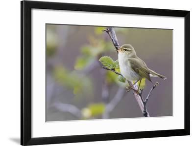 Arctic Warbler Singing-Ken Archer-Framed Photographic Print