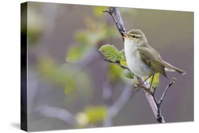 Arctic Warbler Singing-Ken Archer-Stretched Canvas Print