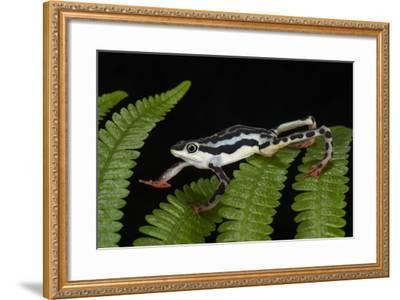 Elegant Harlequin Frog, Choco Region, Ecuador-Pete Oxford-Framed Photographic Print