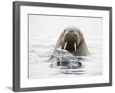 Norway, Svalbard, Walrus in Water-Ellen Goff-Framed Photographic Print