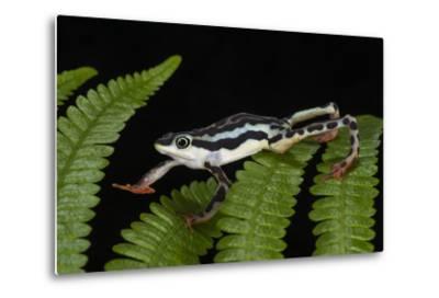 Elegant Harlequin Frog, Choco Region, Ecuador-Pete Oxford-Metal Print