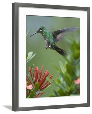 Female Green-Crowned Brilliant Hummingbird Hovering at a Flower-Tim Fitzharris-Framed Photographic Print