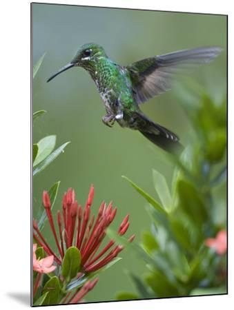 Female Green-Crowned Brilliant Hummingbird Hovering at a Flower-Tim Fitzharris-Mounted Photographic Print