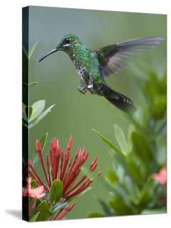 Female Green-Crowned Brilliant Hummingbird Hovering at a Flower-Tim Fitzharris-Stretched Canvas Print