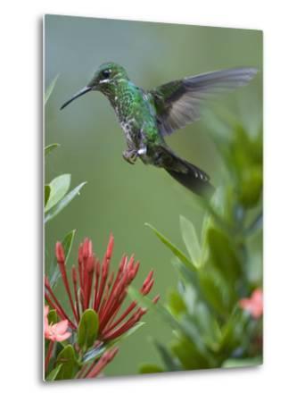 Female Green-Crowned Brilliant Hummingbird Hovering at a Flower-Tim Fitzharris-Metal Print
