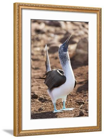 Ecuador, Galapagos Islands, North Seymour Island. Blue-Footed Booby Displaying-Ellen Goff-Framed Photographic Print